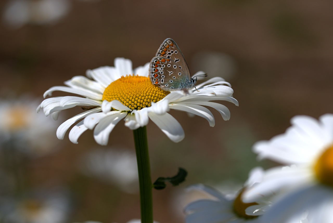Picture butterfly Flowers matricaria Closeup Butterflies flower Camomiles