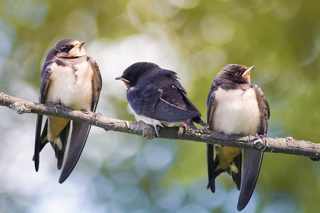 Wallpaper Animals Birds Three 3 Hirundinidae Branches animal bird Swallow birds