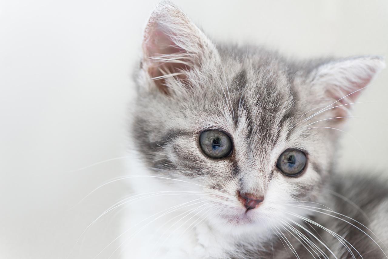 Fotos Katzenjunges Katzen Schnauze Kopf Tiere Starren Grauer Hintergrund Kätzchen Katze Hauskatze Blick ein Tier