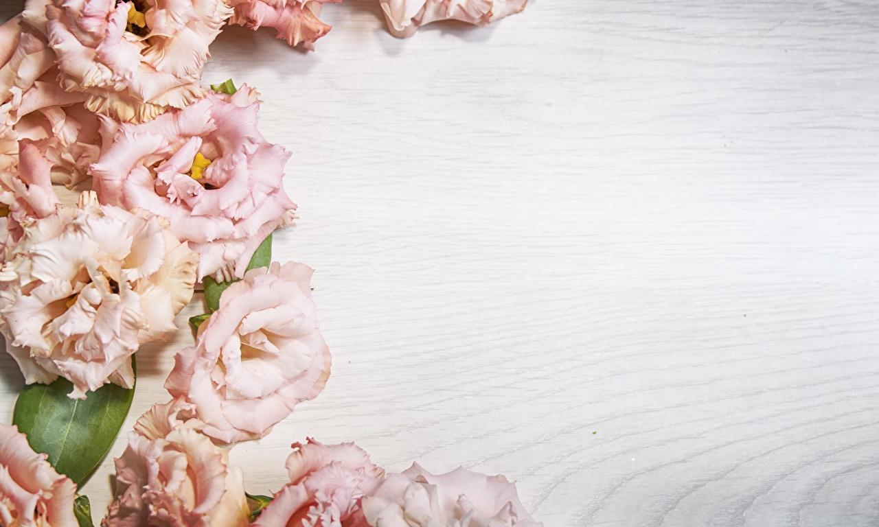 Fotos von Blüte Eustoma Vorlage Grußkarte Bretter Blumen Lisianthus