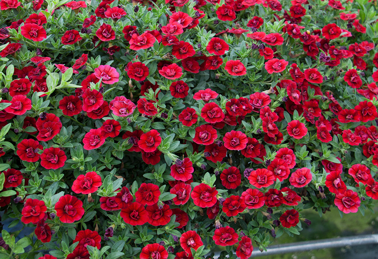 Photo Red Flowers Calibrachoa Many flower