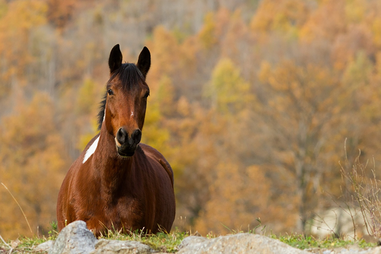 Fotos Hauspferd Herbst Tiere Pferd Pferde ein Tier