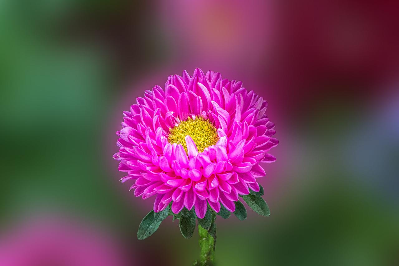 、アスター、クローズアップ、ピンク、花、