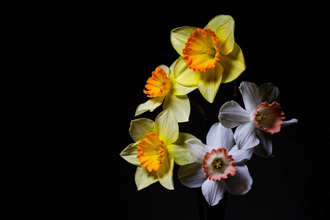 Pictures White Yellow flower Narcissus Black background Flowers Daffodils