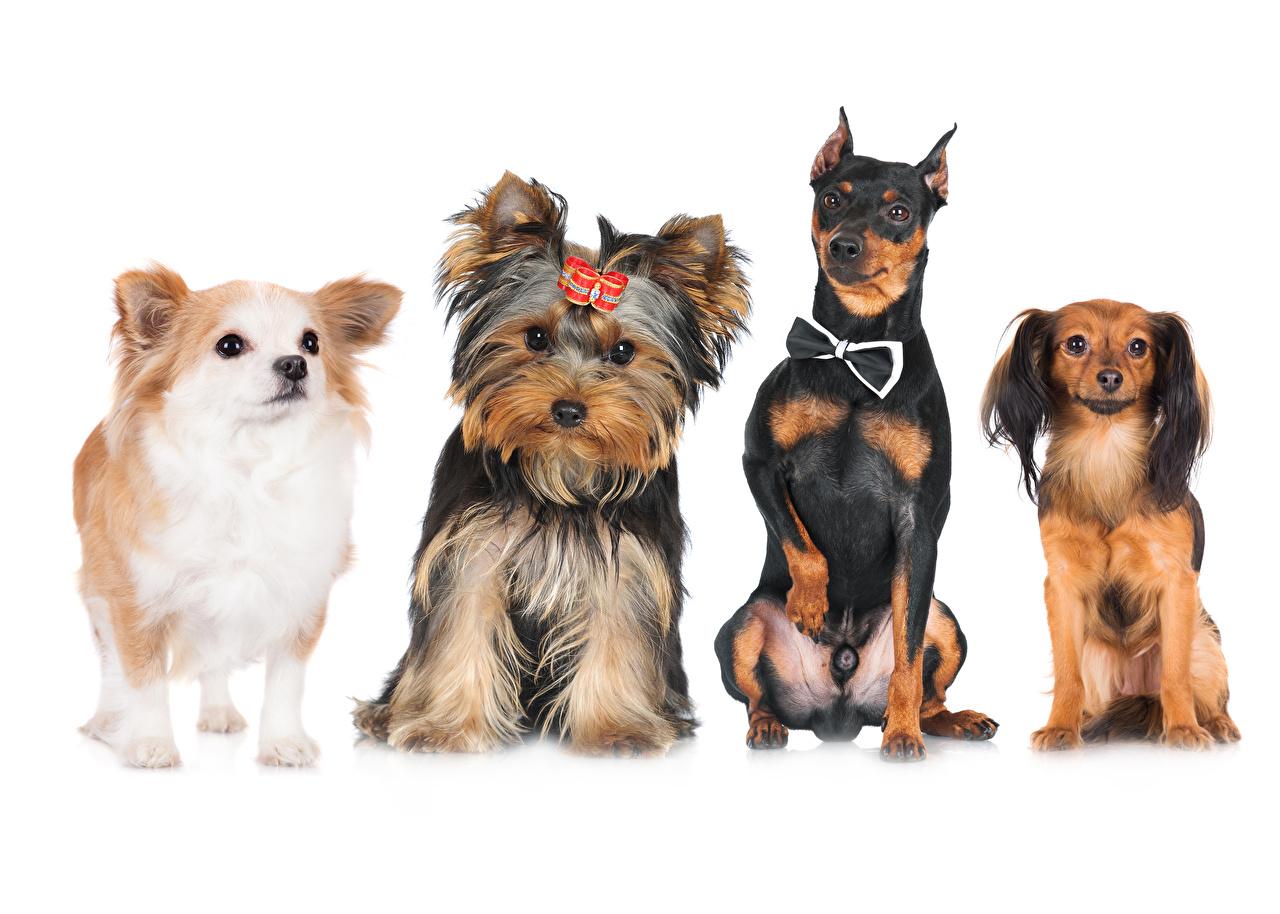 Wallpaper Spitz Bulldog Chihuahua Yorkshire terrier Dogs animal White background dog Animals