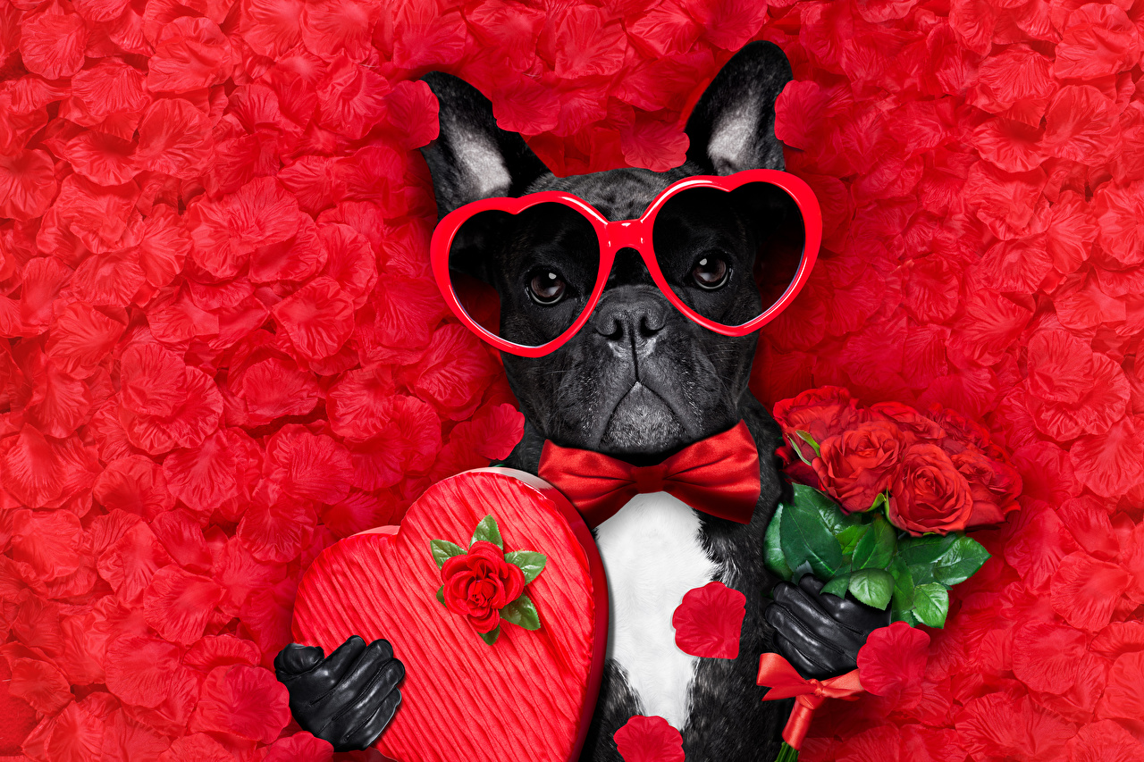Desktop Wallpapers Bulldog Valentine's Day dog Heart bouquet rose Petals Bow tie eyeglasses Animals Red background Dogs Bouquets Roses Glasses animal