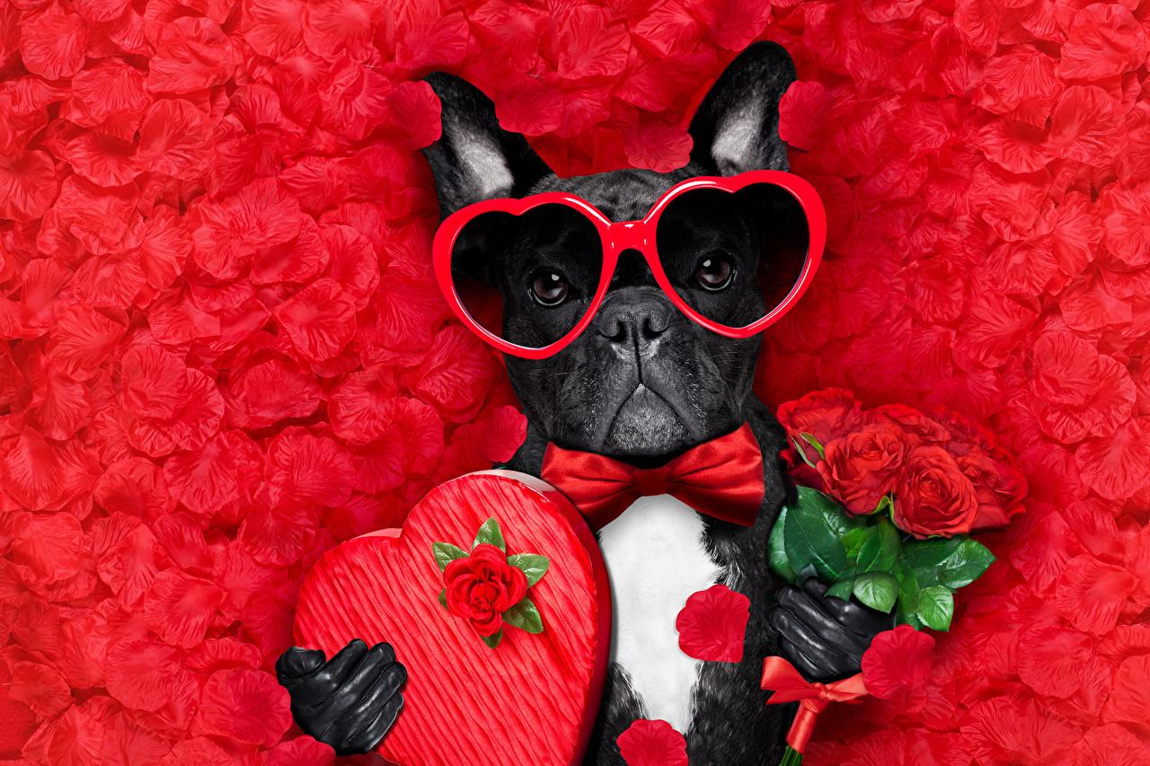 Hintergrundbilder Bulldogge Valentinstag Hunde Herz Sträuße Rosen Petalen Brille Querbinder Tiere Roter Hintergrund Kronblatt