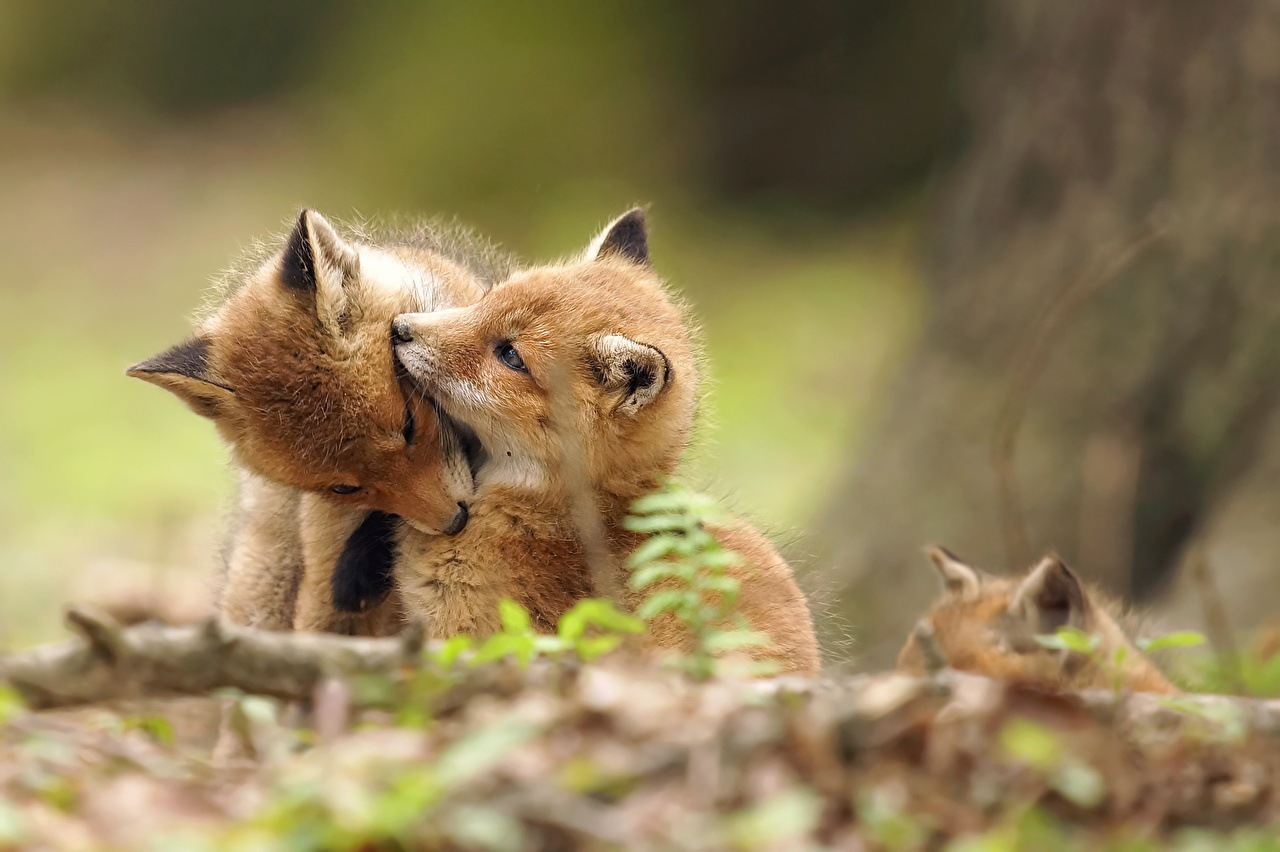 Photo Foxes Cubs Cute 2 Animals sweet lovely pretty Two animal