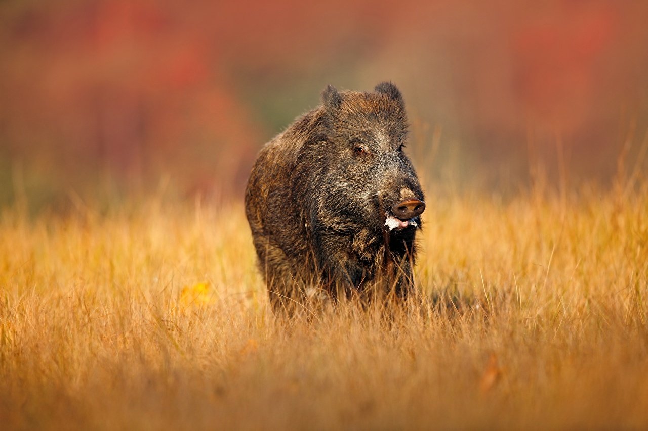 Pictures Wild boar Grass animal wild pig wild swine Animals