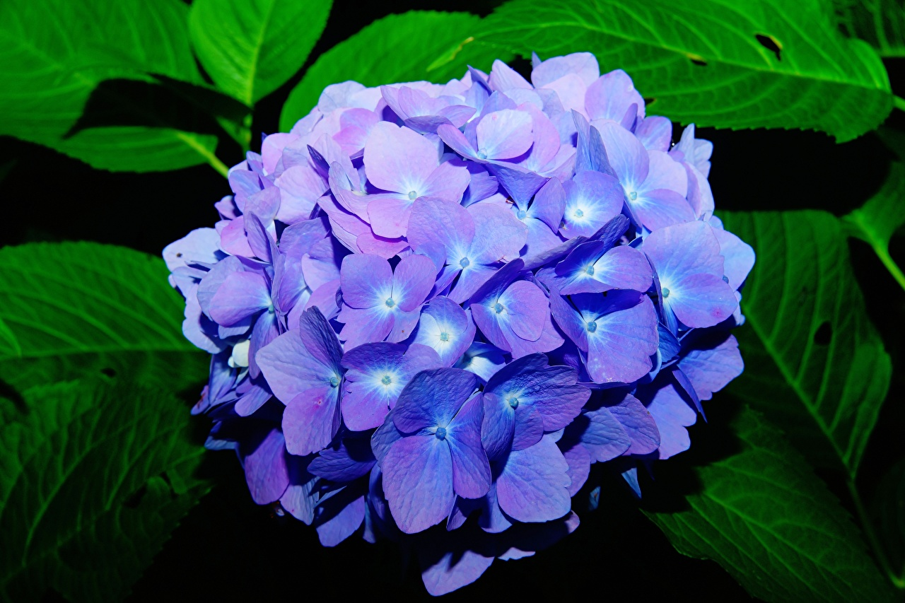 Fotos von Bokeh Blau Blüte Hortensien hautnah unscharfer Hintergrund Blumen Hortensie Nahaufnahme Großansicht