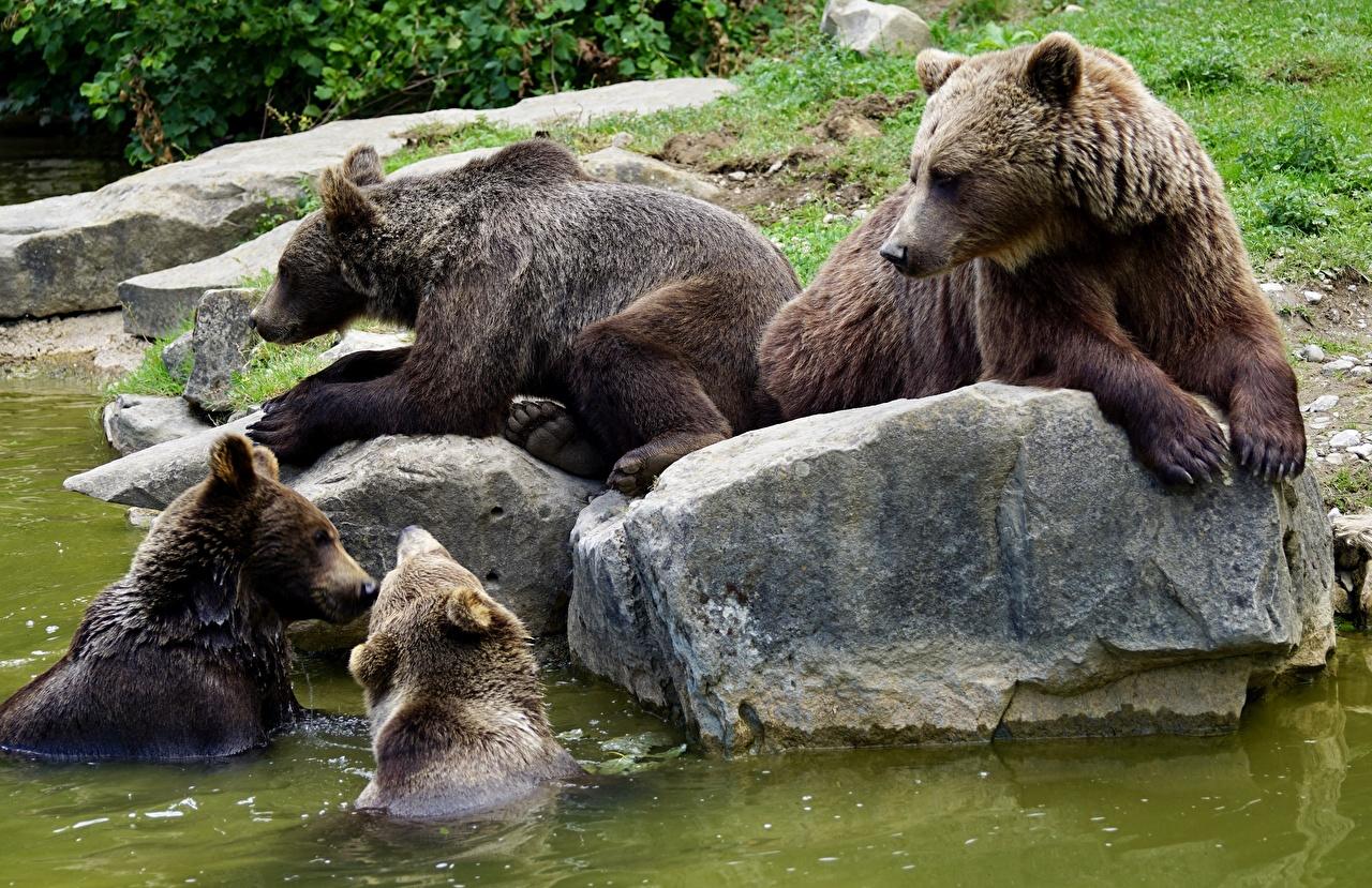Foto Braunbär Bären Steine Tiere