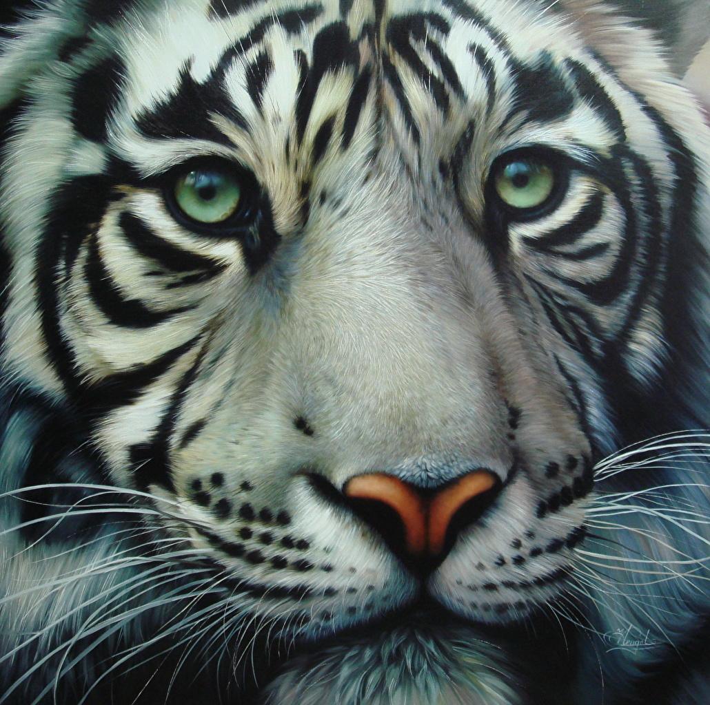 Bilder von Tiger Große Katze Schnurrhaare Vibrisse Schnauze Tiere Blick hautnah Gezeichnet Starren ein Tier Nahaufnahme Großansicht
