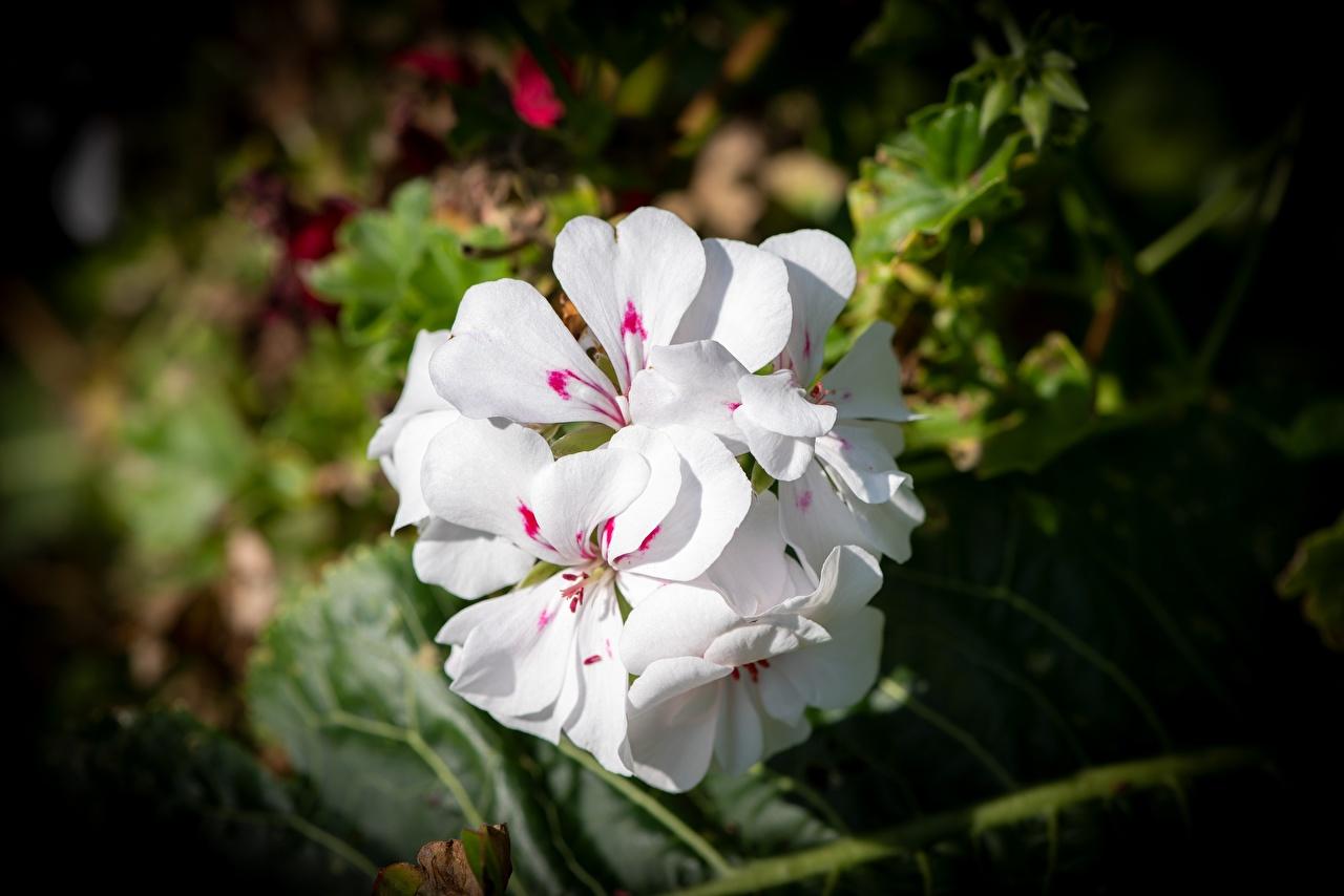 Bilder Bokeh Weiß Blüte Großansicht unscharfer Hintergrund Blumen hautnah Nahaufnahme