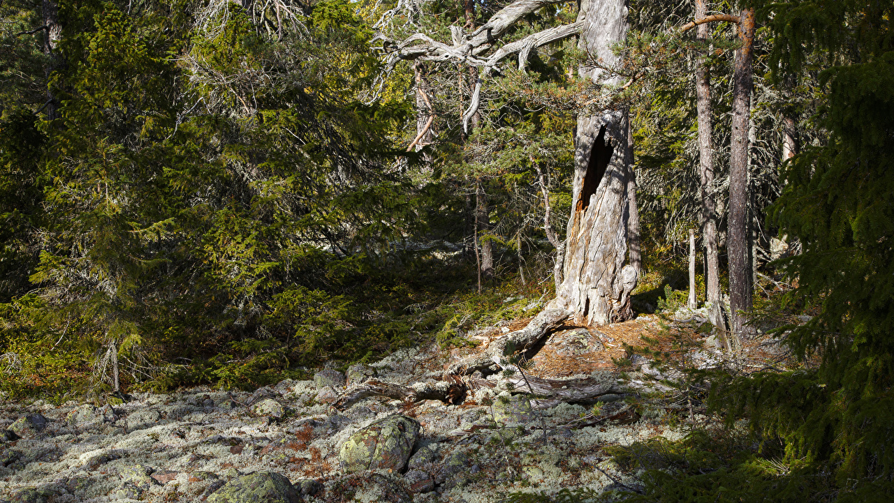 Fotos Schweden Hummelvik Natur Fichten Wälder Steine