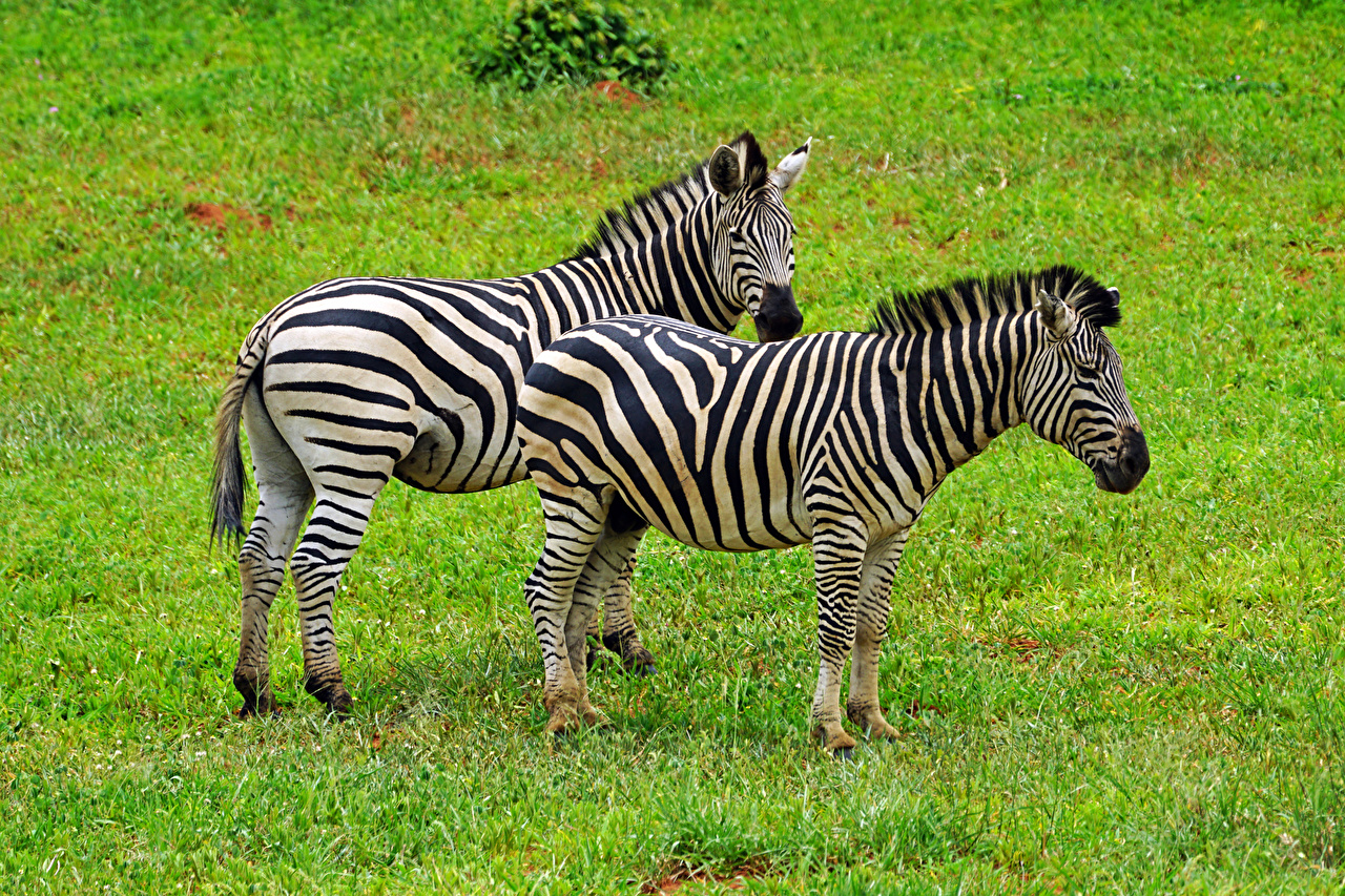 Wallpaper zebra Two Grass animal Zebras 2 Animals