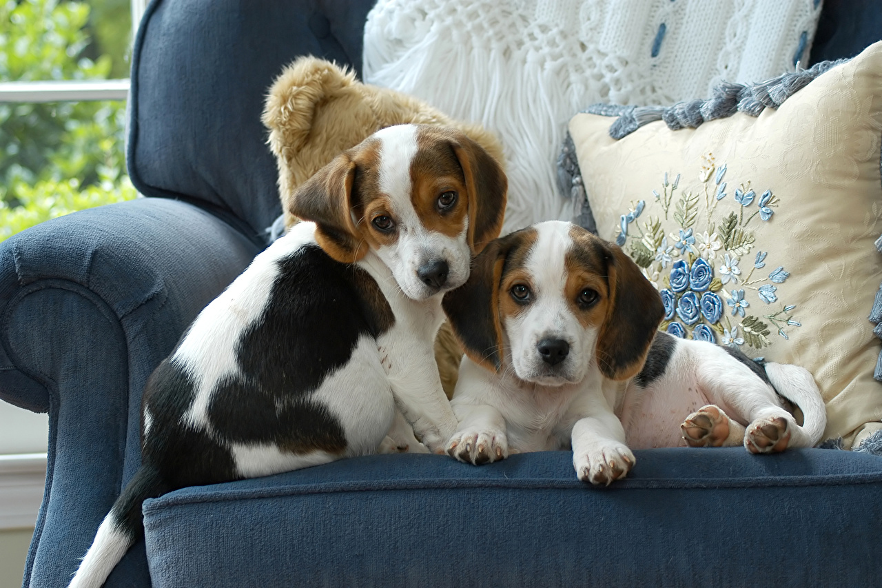Wallpaper Beagle puppies dog Two Couch animal Puppy Dogs 2 Sofa Animals