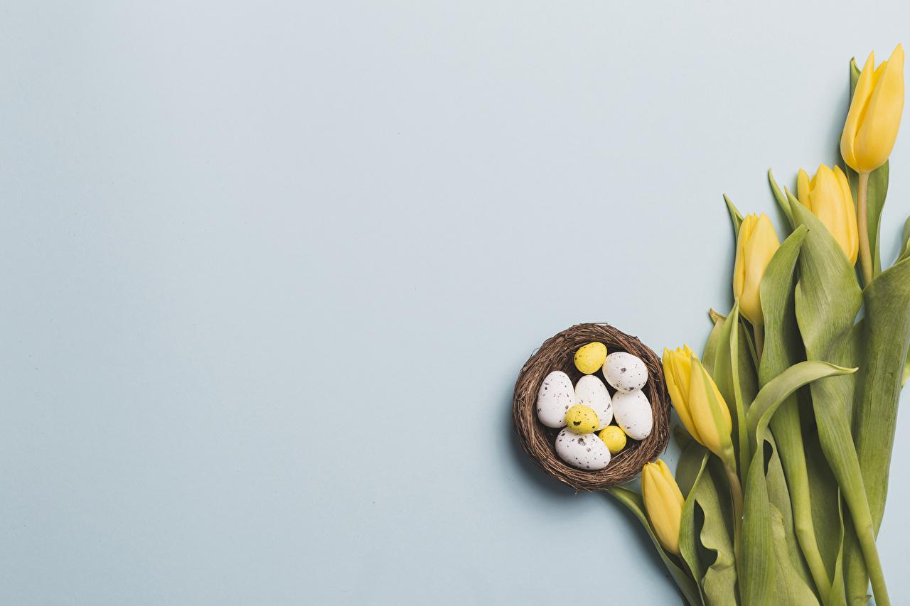 Pascua Tulipas Fondo gris Amarillo Huevo Nido Tarjeta de felicitación de la plant comida, flor, tulipa, tulipanes, huevos Flores Alimentos