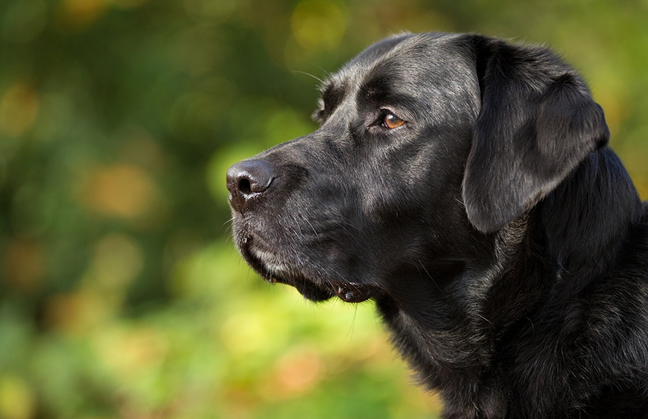 Pictures Retriever dog Black Head Animals
