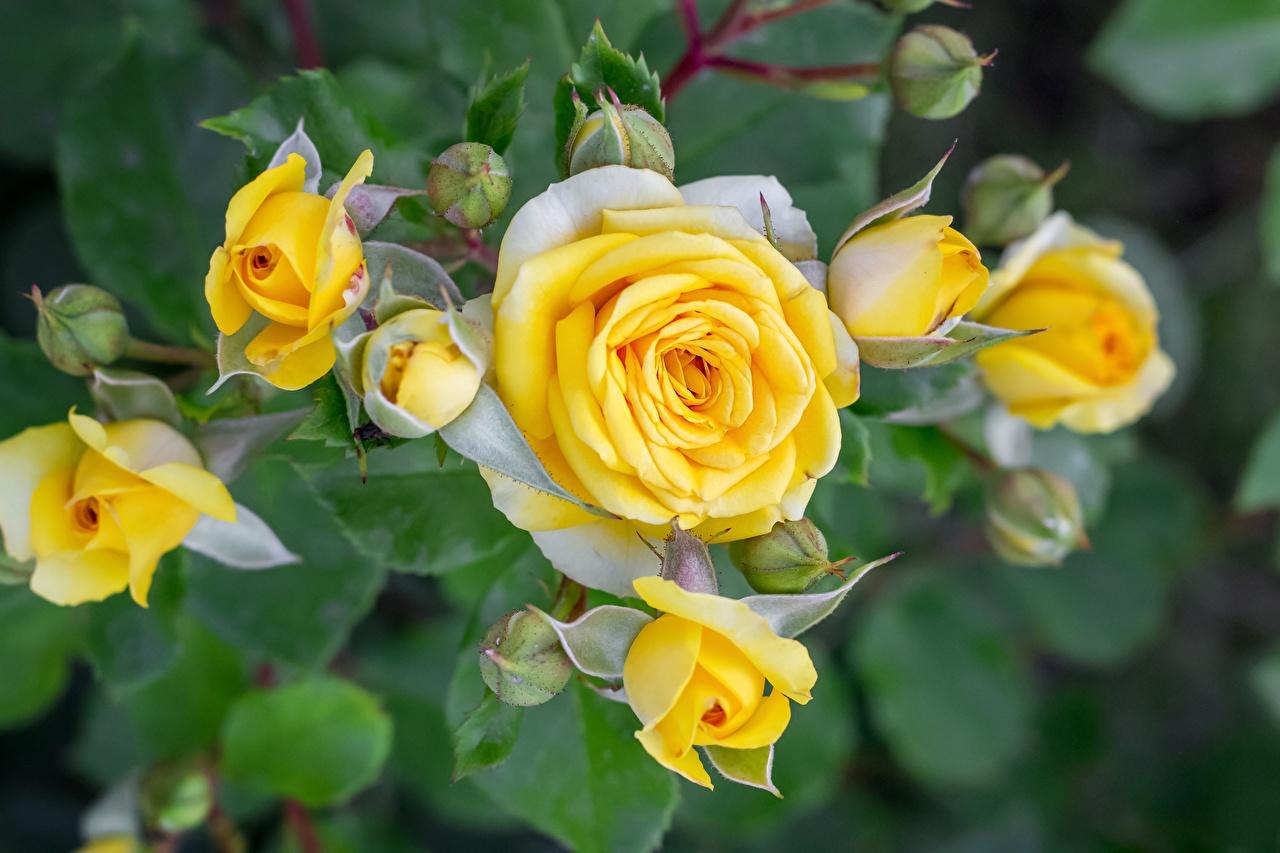 Photos rose Yellow Flowers Flower-bud Roses flower