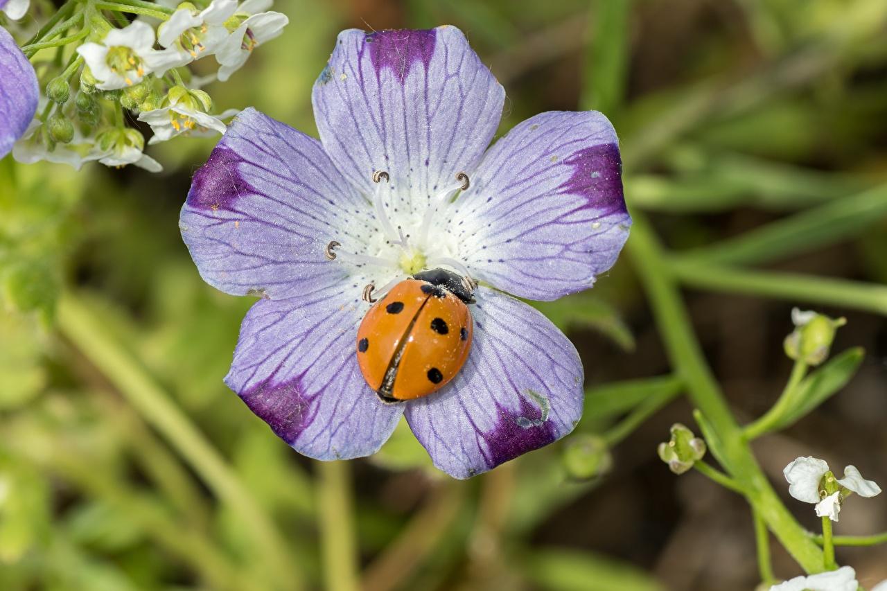 Fotos Marienkäfer Insekten Bokeh Blumen hautnah unscharfer Hintergrund Blüte Nahaufnahme Großansicht