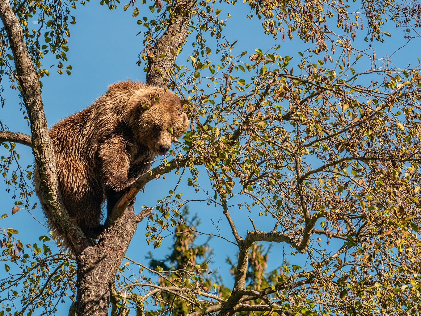 Picture Brown Bears bear Branches Trees animal Grizzly Bears Animals