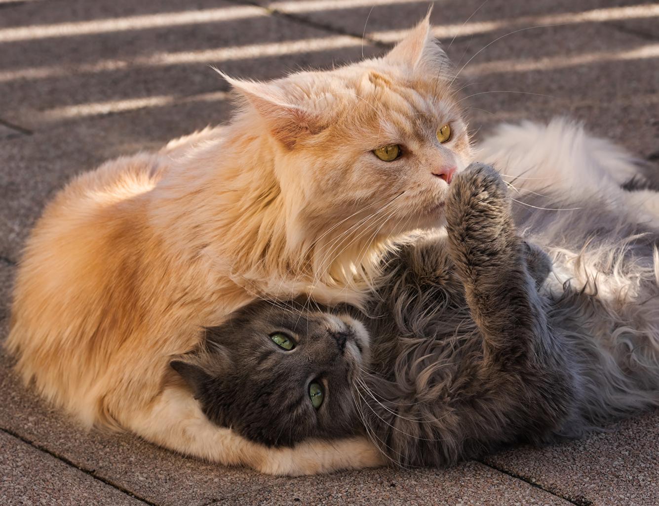 Bilder Katze 2 graues orange rot ein Tier Katzen Hauskatze Zwei Grau graue Fuchsrot ingwer farbe Tiere
