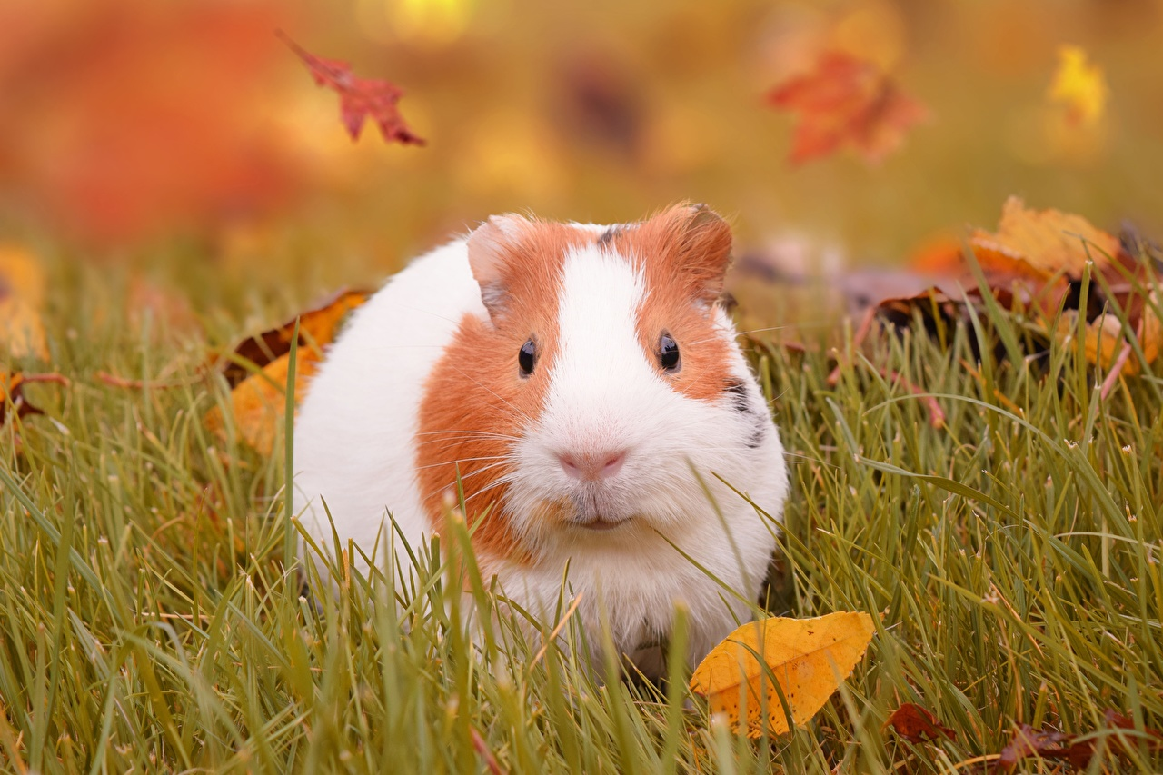 Pictures cavy Grass animal cuy Guinea pigs Animals