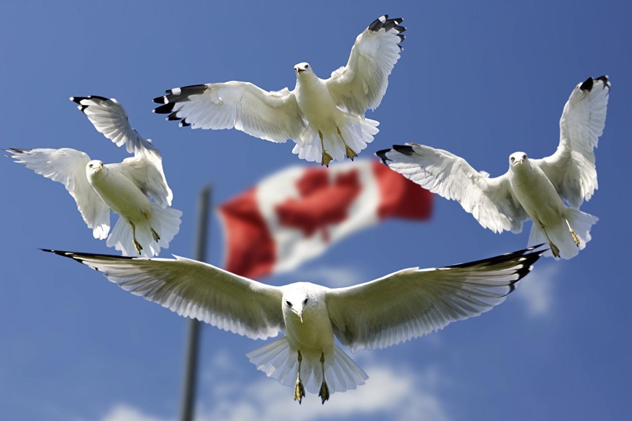 Immagine uccello Gabbiani Canada Bianco Quattro 4 Bandiera volante Animali aves Uccelli Volo animale