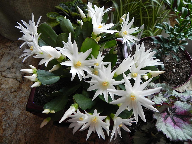 Foto Weiß Blumen Kakteen Großansicht