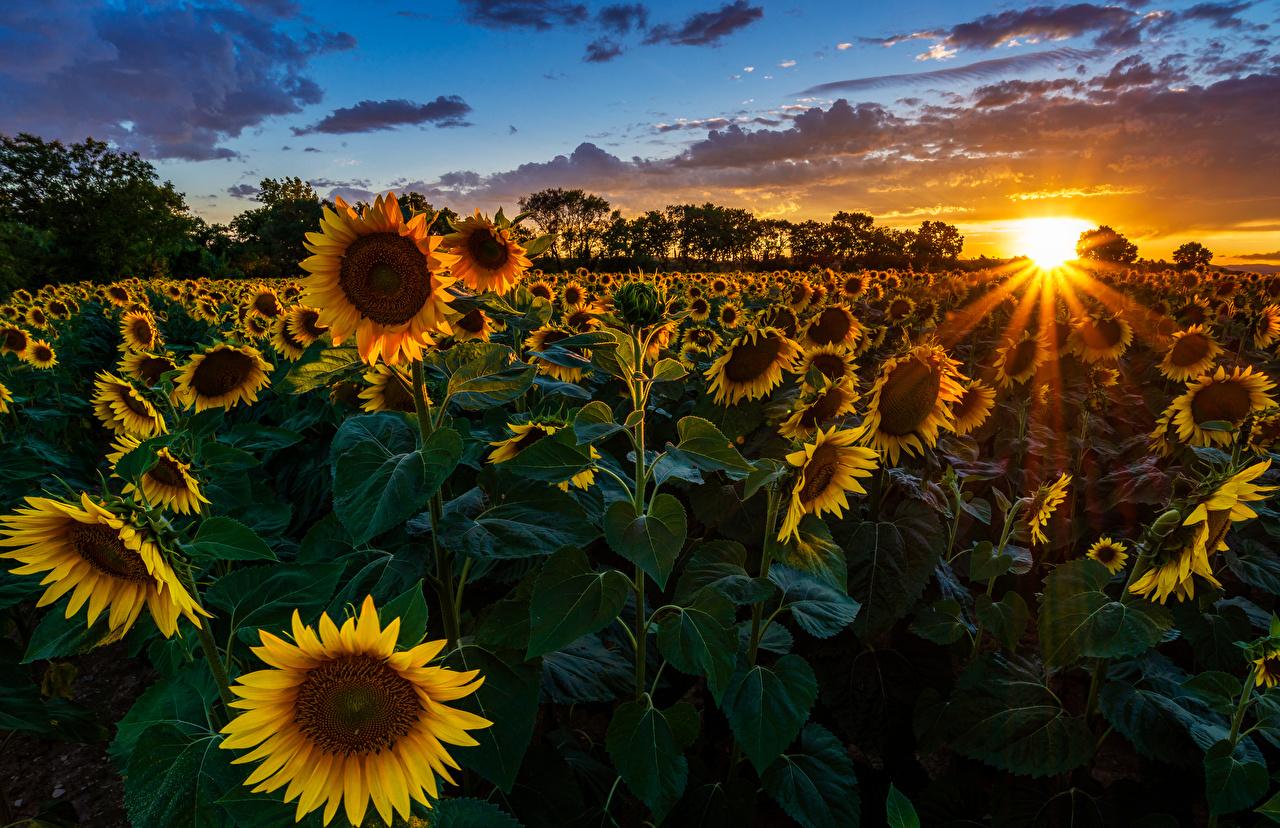 Fotos Lichtstrahl Natur Sonne Felder Sonnenblumen Morgendämmerung und Sonnenuntergang Acker Sonnenaufgänge und Sonnenuntergänge