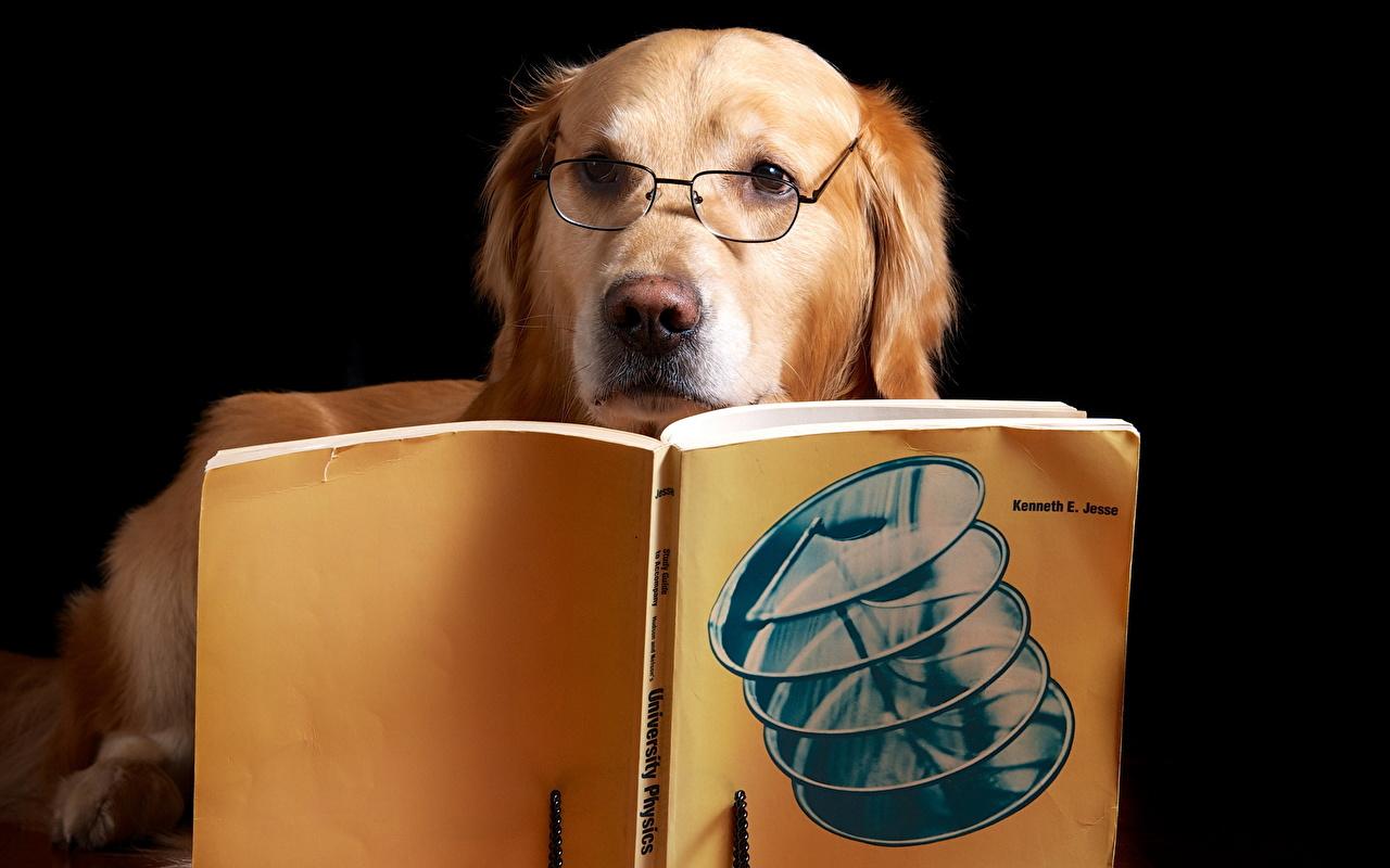 Cão Golden retriever Retriever Óculos Livro Está lendo animalia, um animal, engraçados, cães, cachorro, Lunettes, livros Animalia Humor