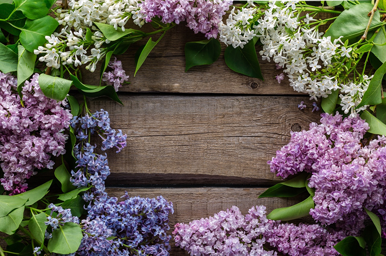 Primavera Syringa Cartão do molde flor, lilas Flores