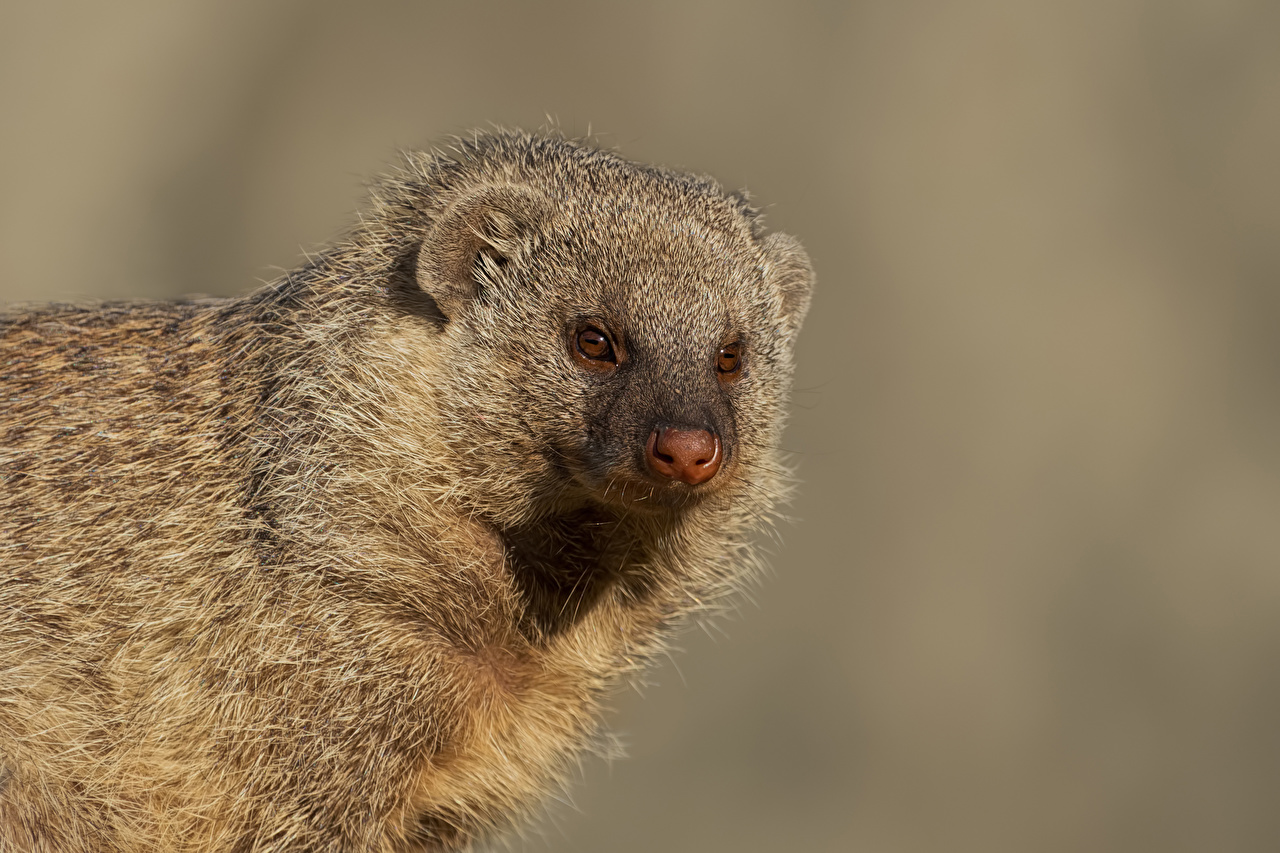 Image Banded Mongoose Snout Animals Staring Gray background Glance animal