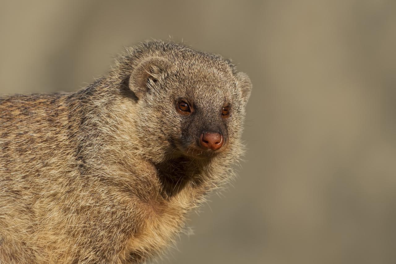 Foto Banded Mongoose Schnauze Tiere Starren Grauer Hintergrund Blick ein Tier