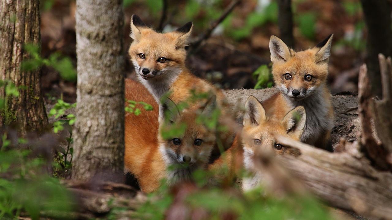 Fotos von Füchse Jungtiere Vier 4 Tiere babys ein Tier