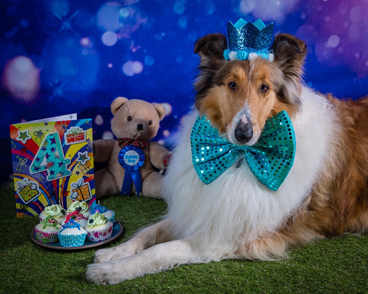 Bilder på skrivbordet Collie Födelsedag hund Krona Cupcake Nallebjörn Fluga rosett Djur Hundar