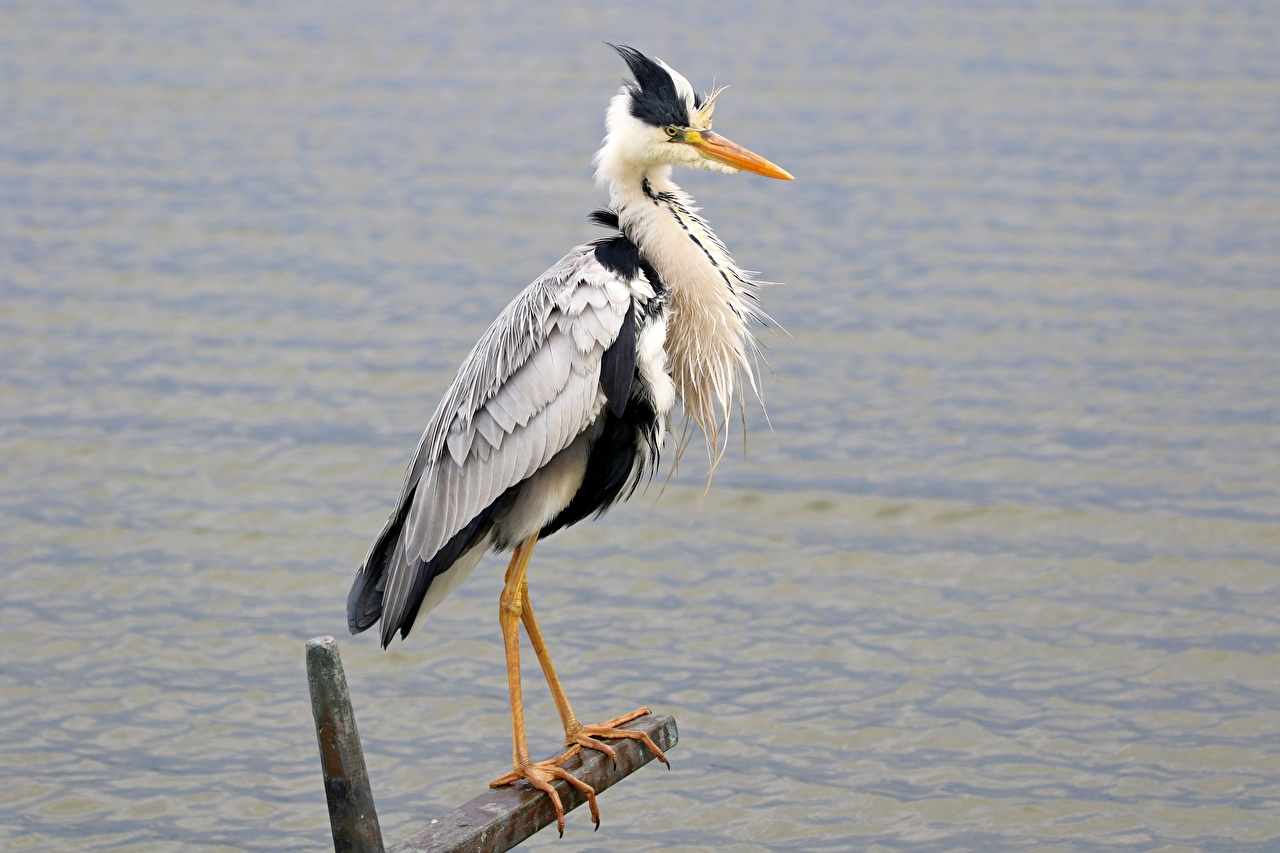 Desktop Hintergrundbilder Reiher Grey Heron Pfote Seitlich Tiere ein Tier