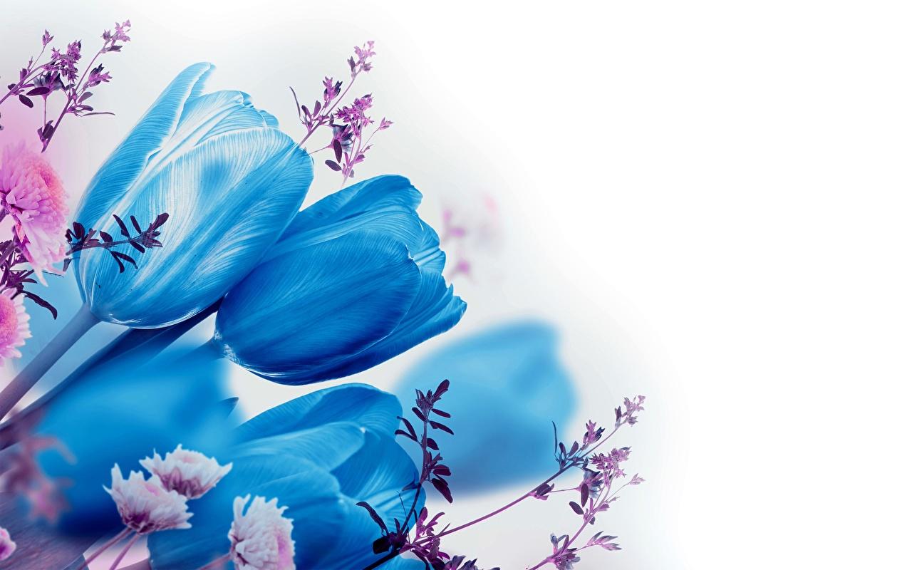 Hintergrundbilder Blau Tulpen Blumen Weißer hintergrund