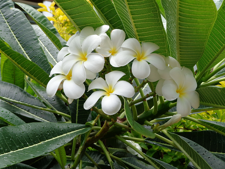 Image Leaf White flower Plumeria Foliage Flowers