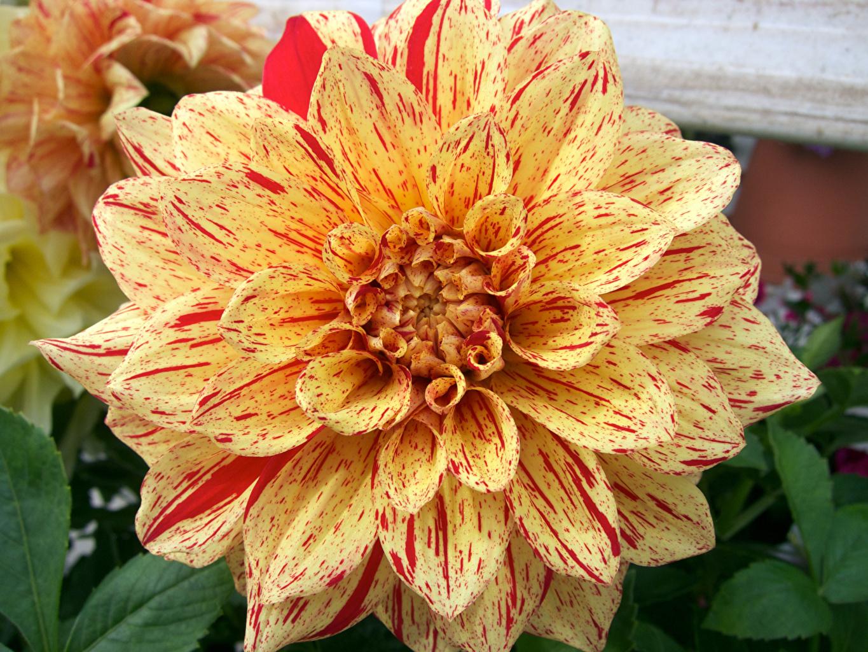 Fotos Blüte Dahlien Nahaufnahme Blumen Georginen hautnah Großansicht