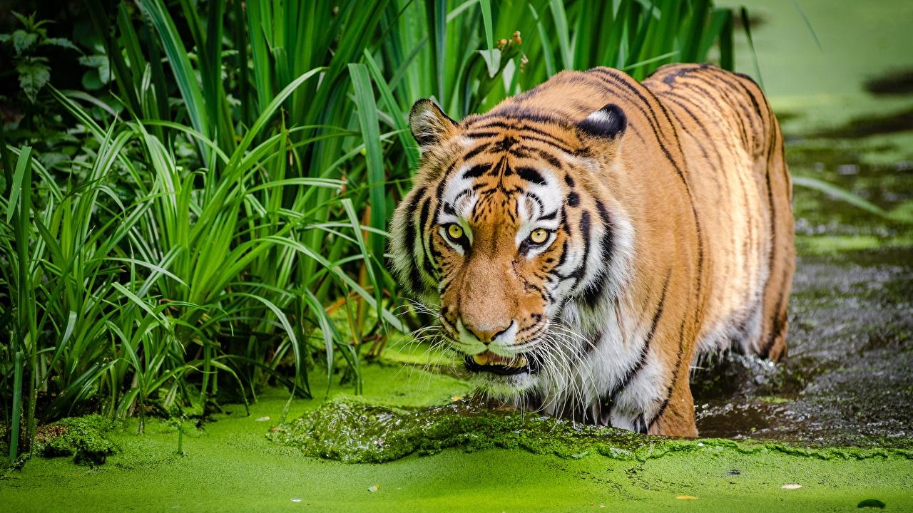 Desktop Hintergrundbilder Tiger Sumpf Wasser Tiere ein Tier