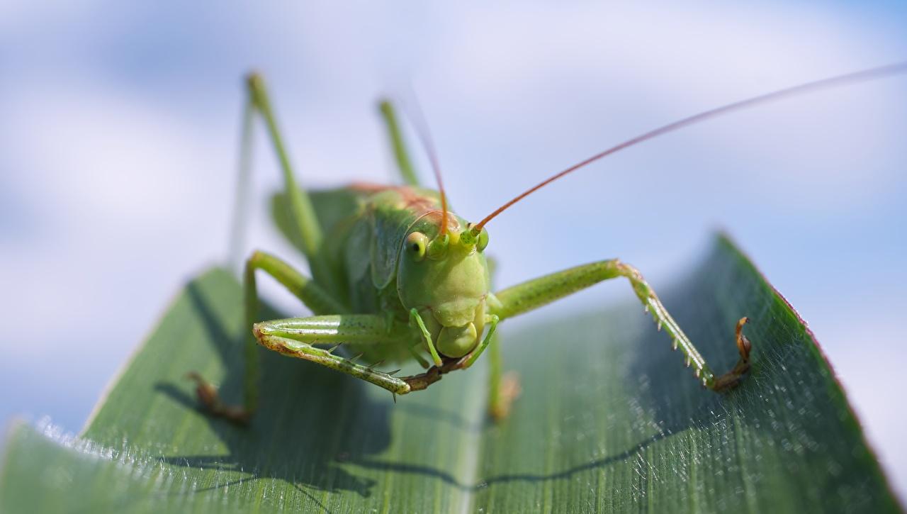 Fotos Heuschrecken Bokeh Grün Pfote Makro Tiere Großansicht
