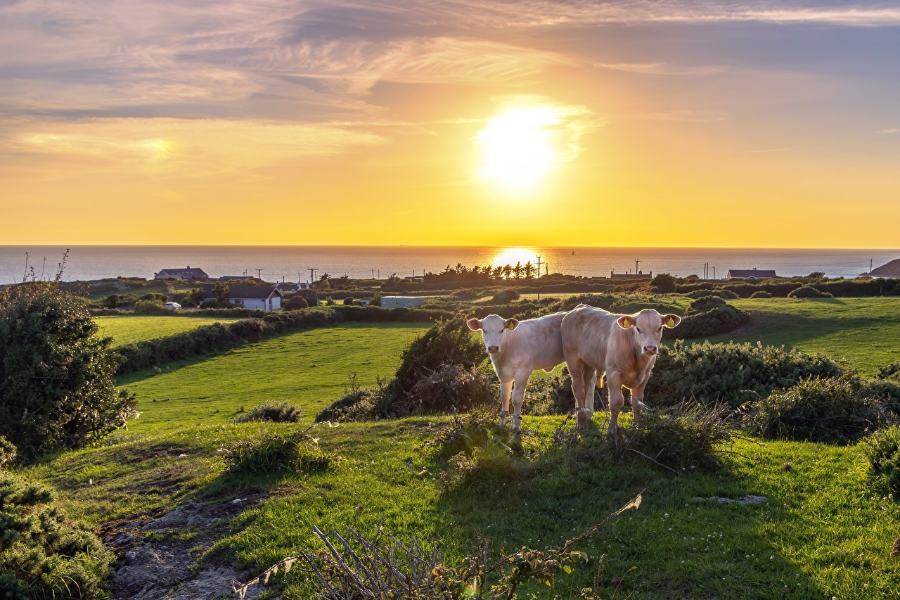 Pictures Cow Cubs 2 Grass Horizon animal cows Two Animals
