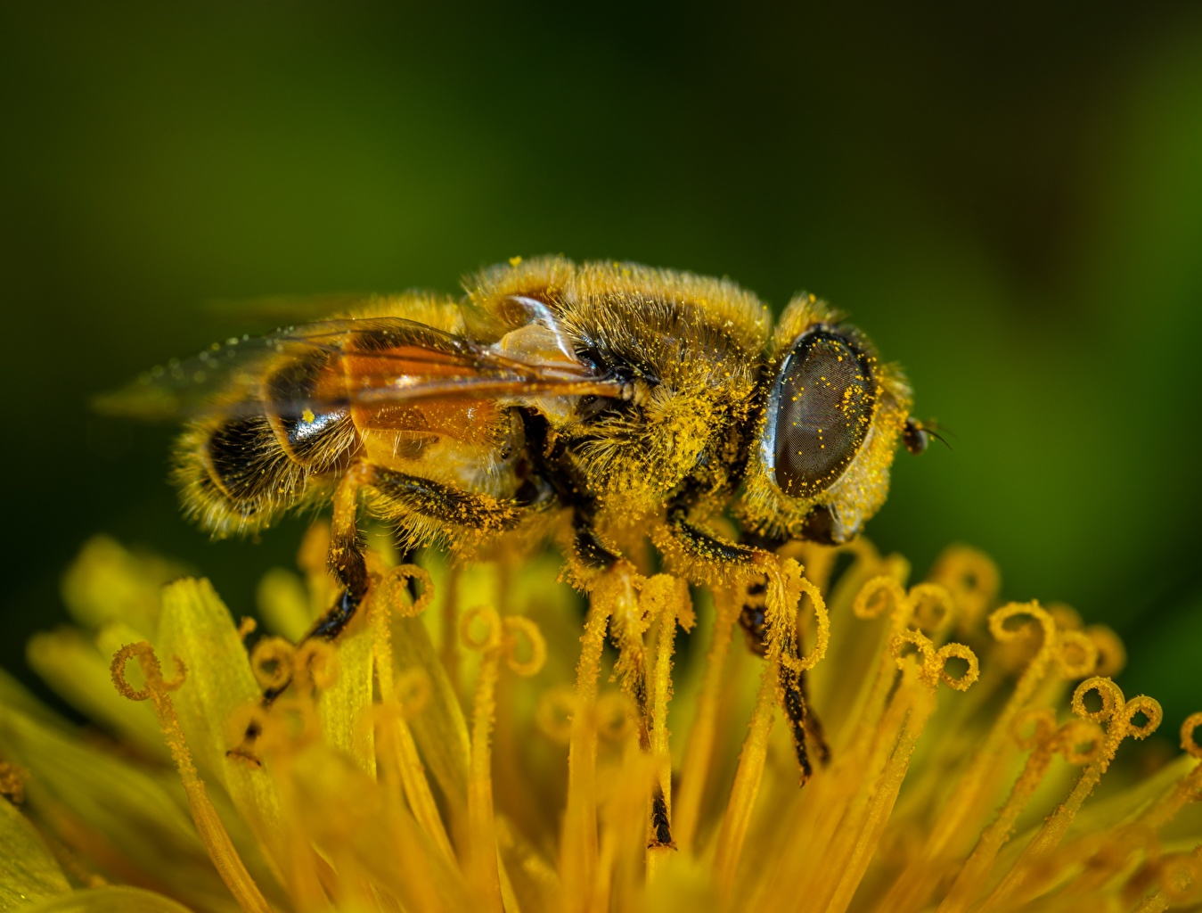 Foto Bienen Insekten Blütenstaub Makrofotografie Tiere hautnah Pollen Makro ein Tier Nahaufnahme Großansicht