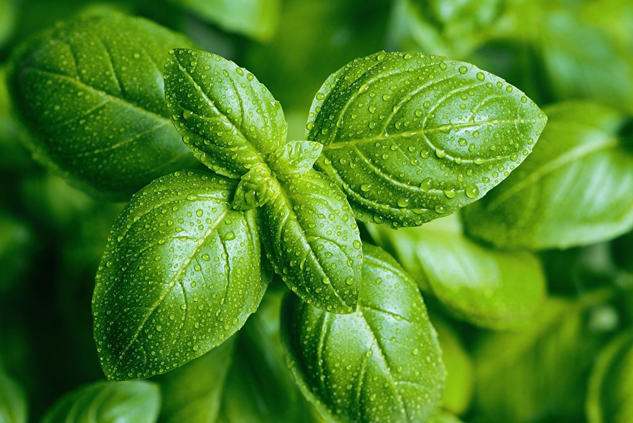Fotos von Blatt basil Grün Tropfen Lebensmittel Großansicht Blattwerk