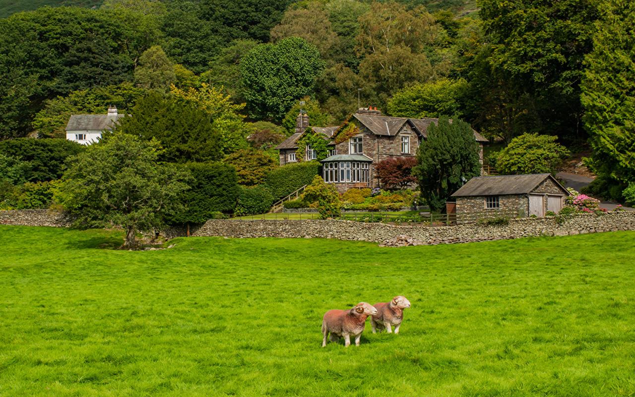 Angleterre Mouton Ovis aries Maison Grasmere Village Arbres Herbe Bâtiment Nature