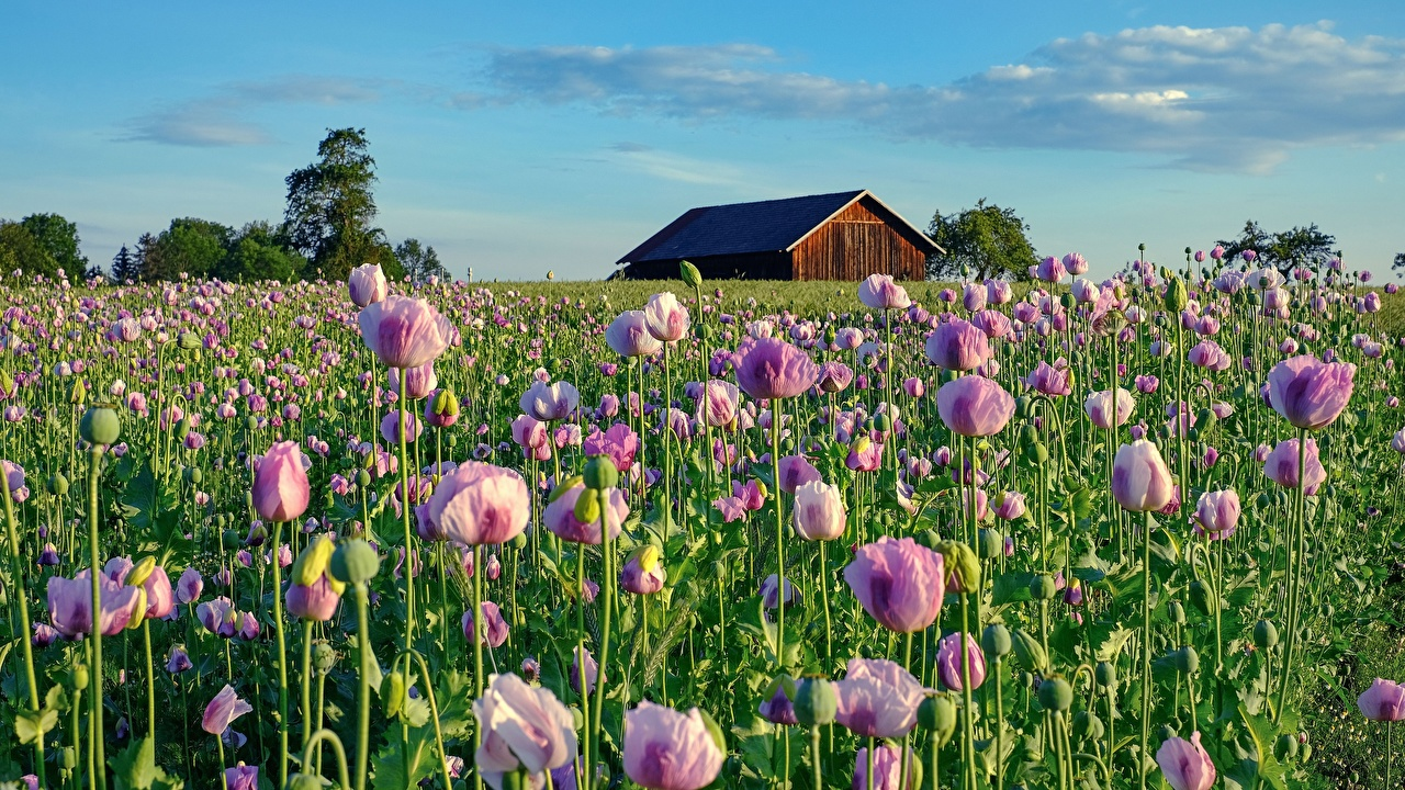 Photo Pink color Fields papaver Flowers flower Poppies