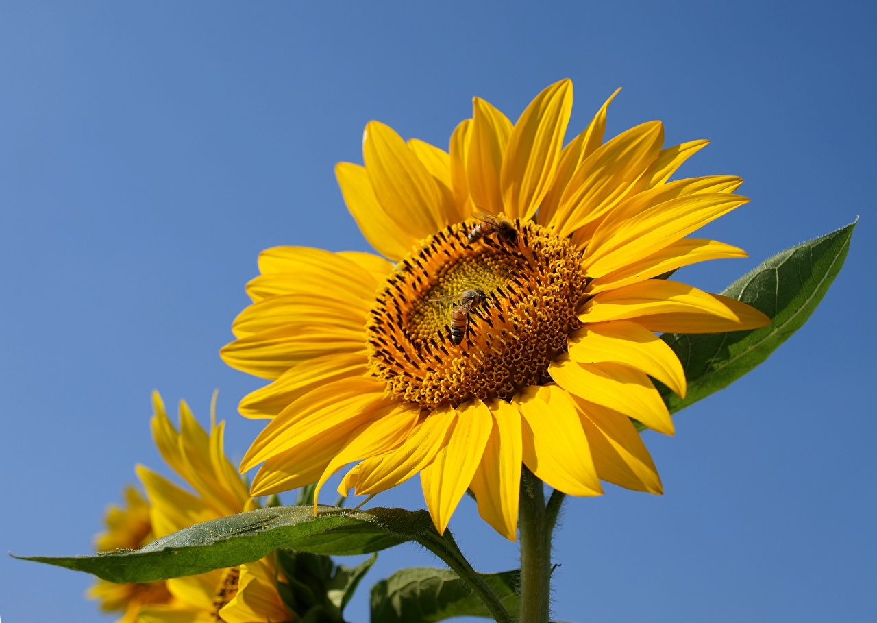 Photo Bees Insects Yellow flower Helianthus Flowers Sunflowers