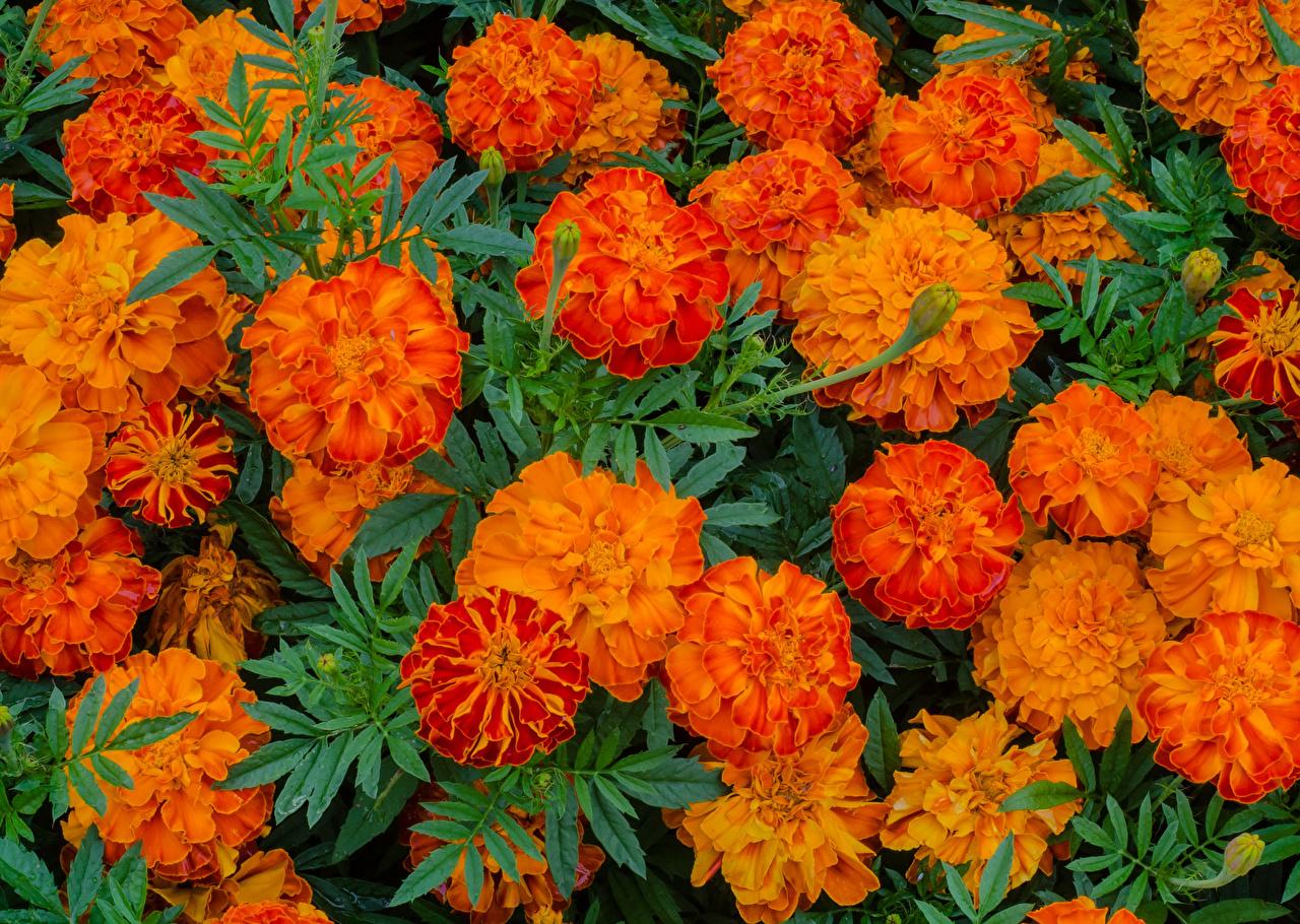 Wallpaper Orange Flowers Tagetes Closeup