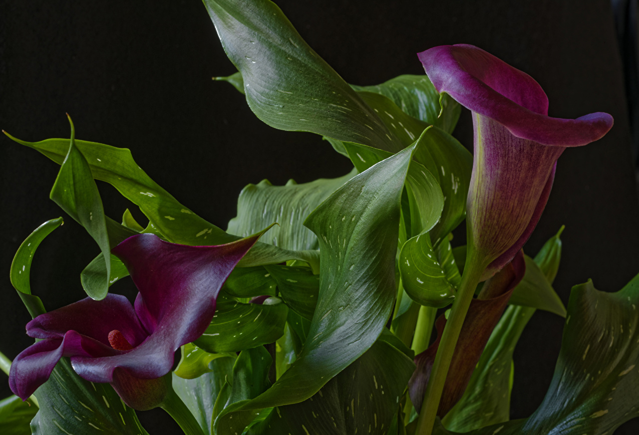 Images Foliage 2 dark red Marsh Wild Calla Flowers Closeup Leaf Two Callas maroon Bog Arum burgundy Wine color